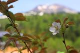 旭岳温泉のチシマザクラ