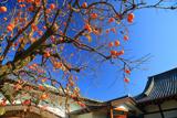 常徳寺 柿の実