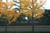 大聖寺 イチョウ黄葉と東面築地