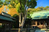 鎌倉岩瀬 イチョウ黄葉の五所稲荷神社