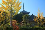 青龍寺 銀杏黄葉と八坂塔