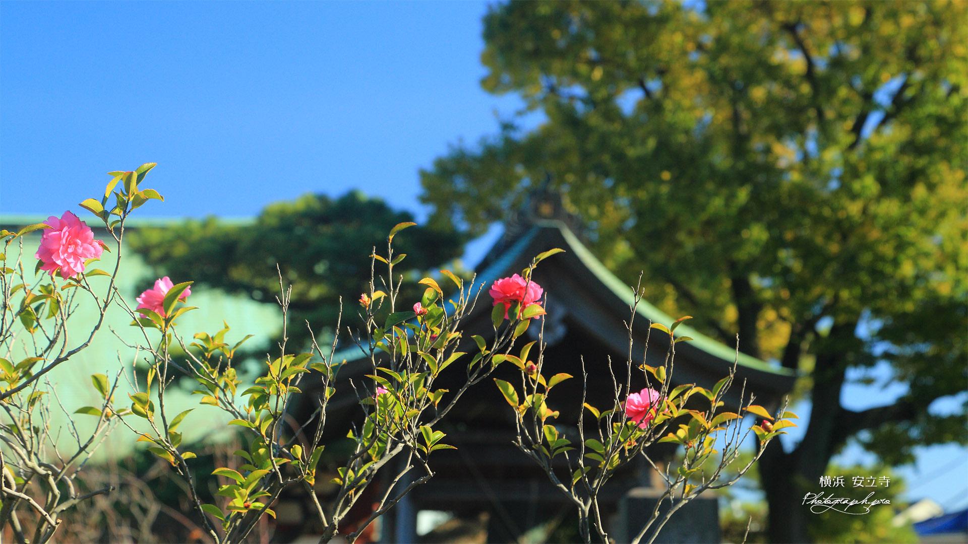 金沢安立寺 山茶花