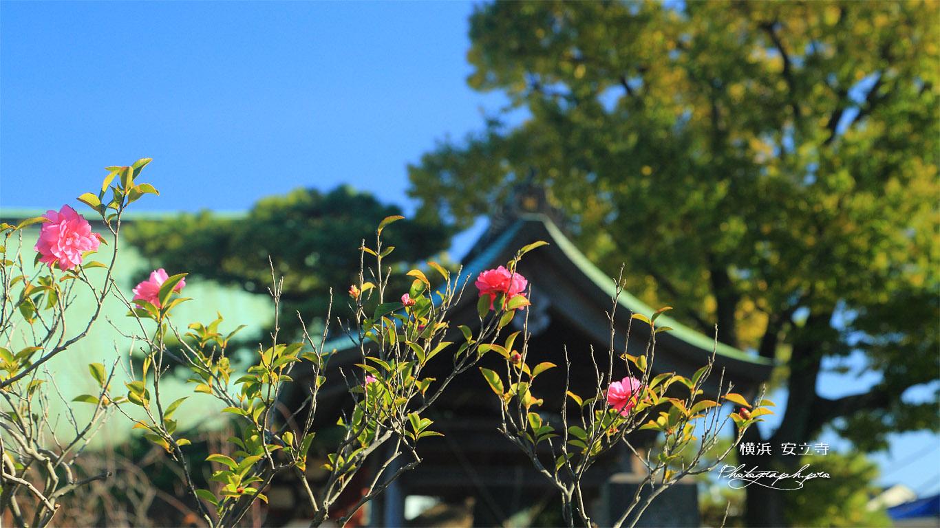 金沢安立寺 山茶花 壁紙