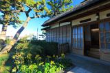 野島公園 旧伊藤博文金沢別邸のつわぶき