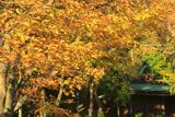 野島公園 欅黄葉と野島稲荷神社