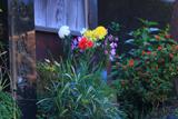 鎌倉 関谷地蔵堂の野菊