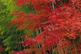 鎌倉 関谷緑地の楓紅葉