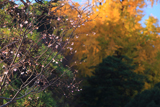 青蓮寺 十月桜と熊野神社の大銀杏