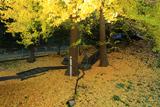鎌倉手広 熊野神社の敷き公孫樹