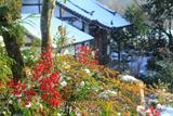 小町寺 南天と時雨雪
