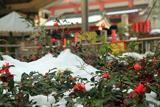 誓願寺 山茶花と残雪