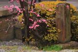 誠心院 軒端の梅