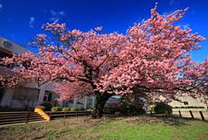 山口県の桜