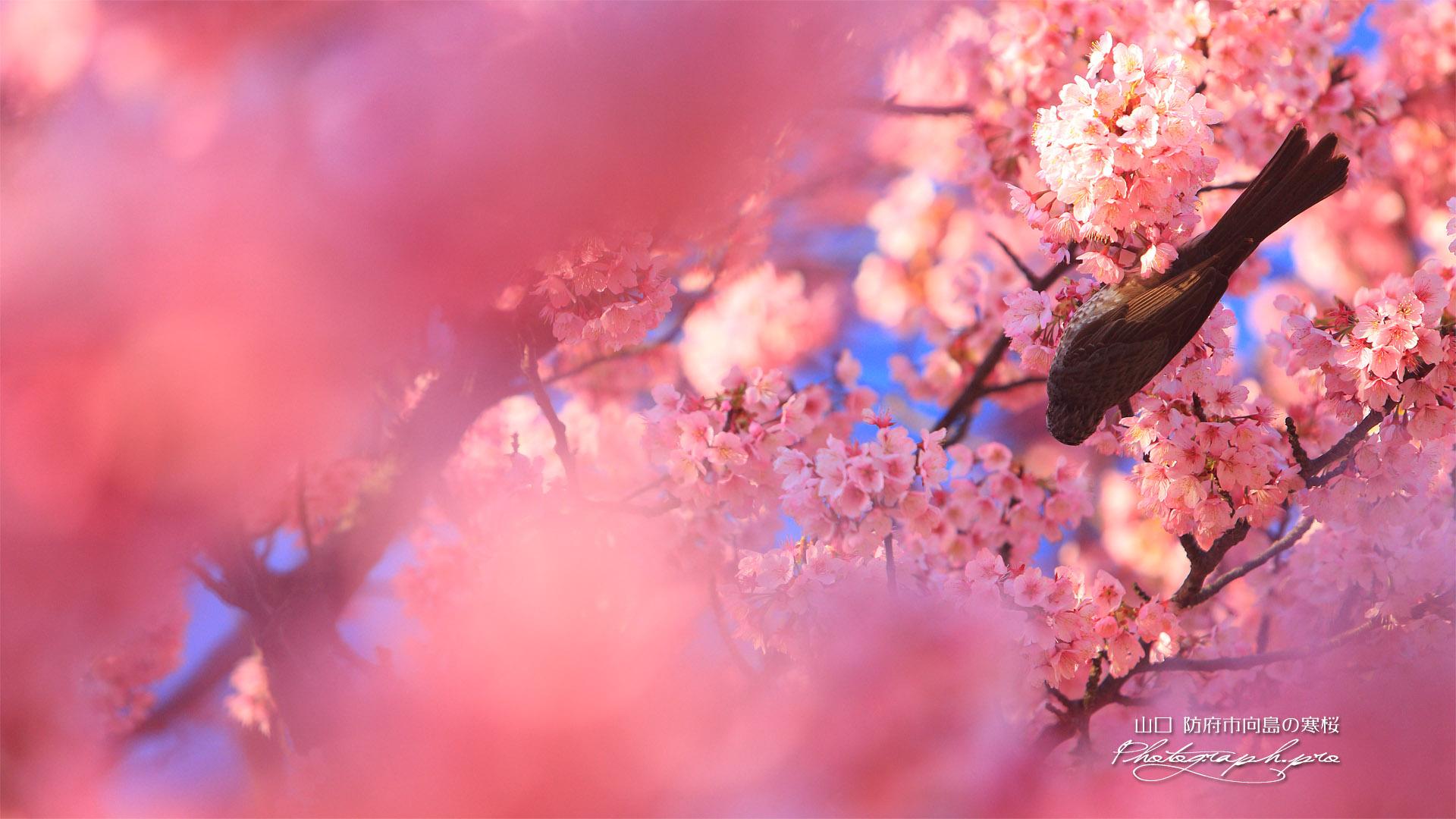 防府市向島小学校の寒桜