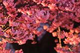 防府市向島の寒桜
