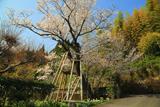 三重野の山桜