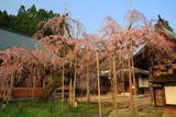 光善寺のしだれ桜