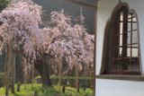 光善寺の枝垂れ桜
