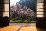 光善寺の枝垂桜
