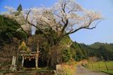 三川内神社の桜