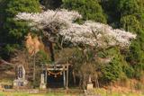三川内神社のサクラ