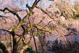 平野家のしだれ桜