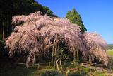 田ノ頭郷のしだれ桜