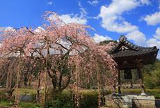 真浄寺のしだれ桜