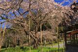 南明寺の糸桜