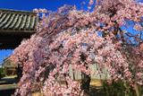 広雲寺のしだれ桜