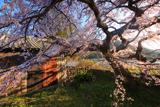 平安古の枝垂桜