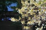 志都岐山神社のミドリヨシノ