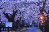母智丘公園の陰陽桜