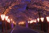 母智丘公園の桜