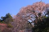 大原大しだれ桜