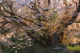 宮の崎の大桜