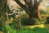 宮の崎の山桜