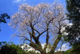 奥十曽のエドヒガン桜