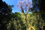 鹿児島県の桜