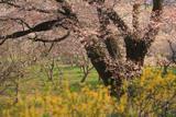 千女房の山桜