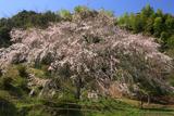 天神山の大しだれ桜