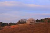 才尾の一本桜