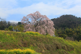 清水家の墓守桜