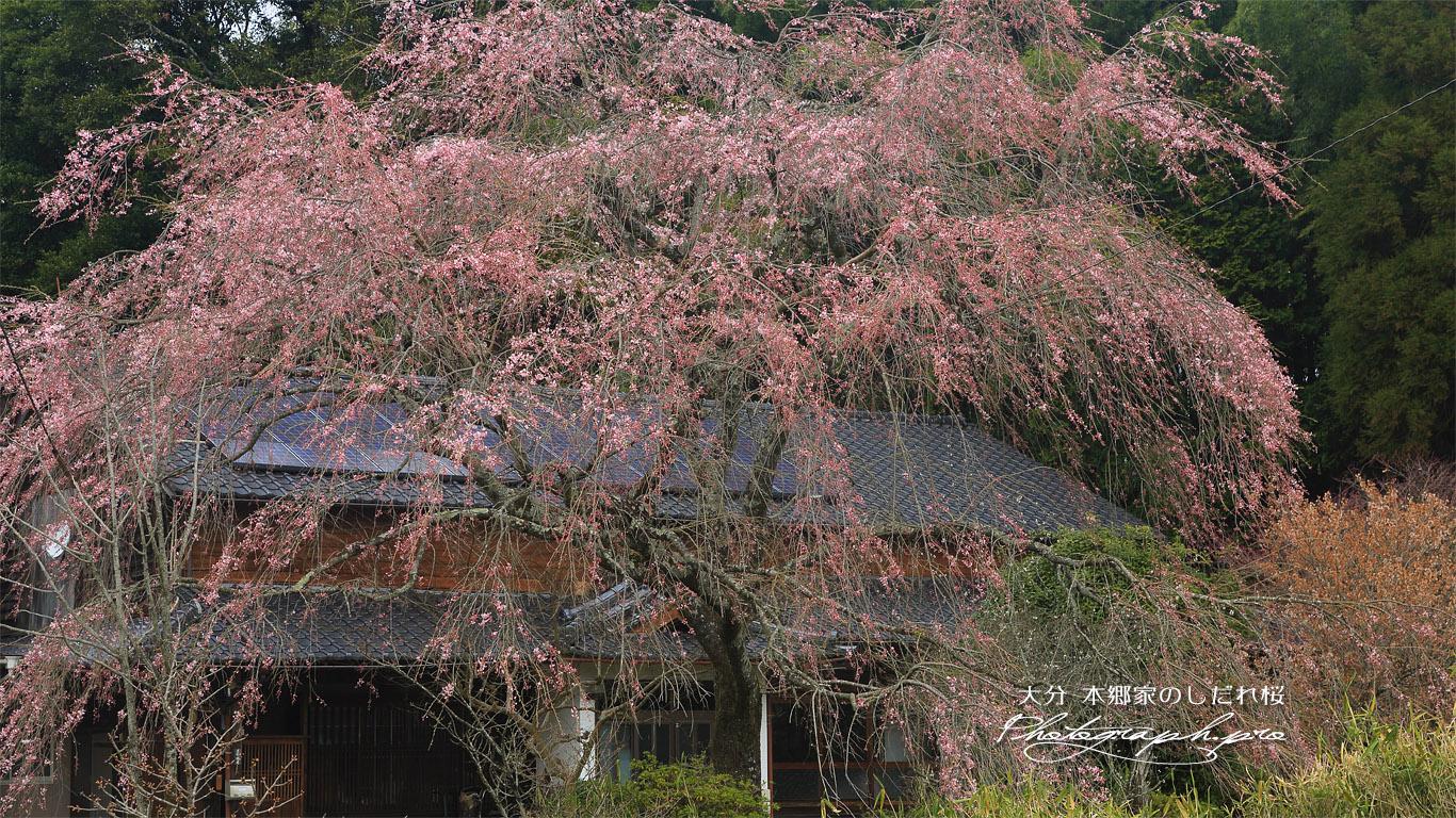 本郷家のしだれ桜 壁紙