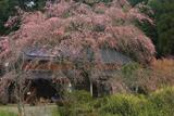 本郷家のしだれ桜