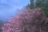 宮城台小下しだれ桜
