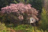 阿南家のしだれ桜