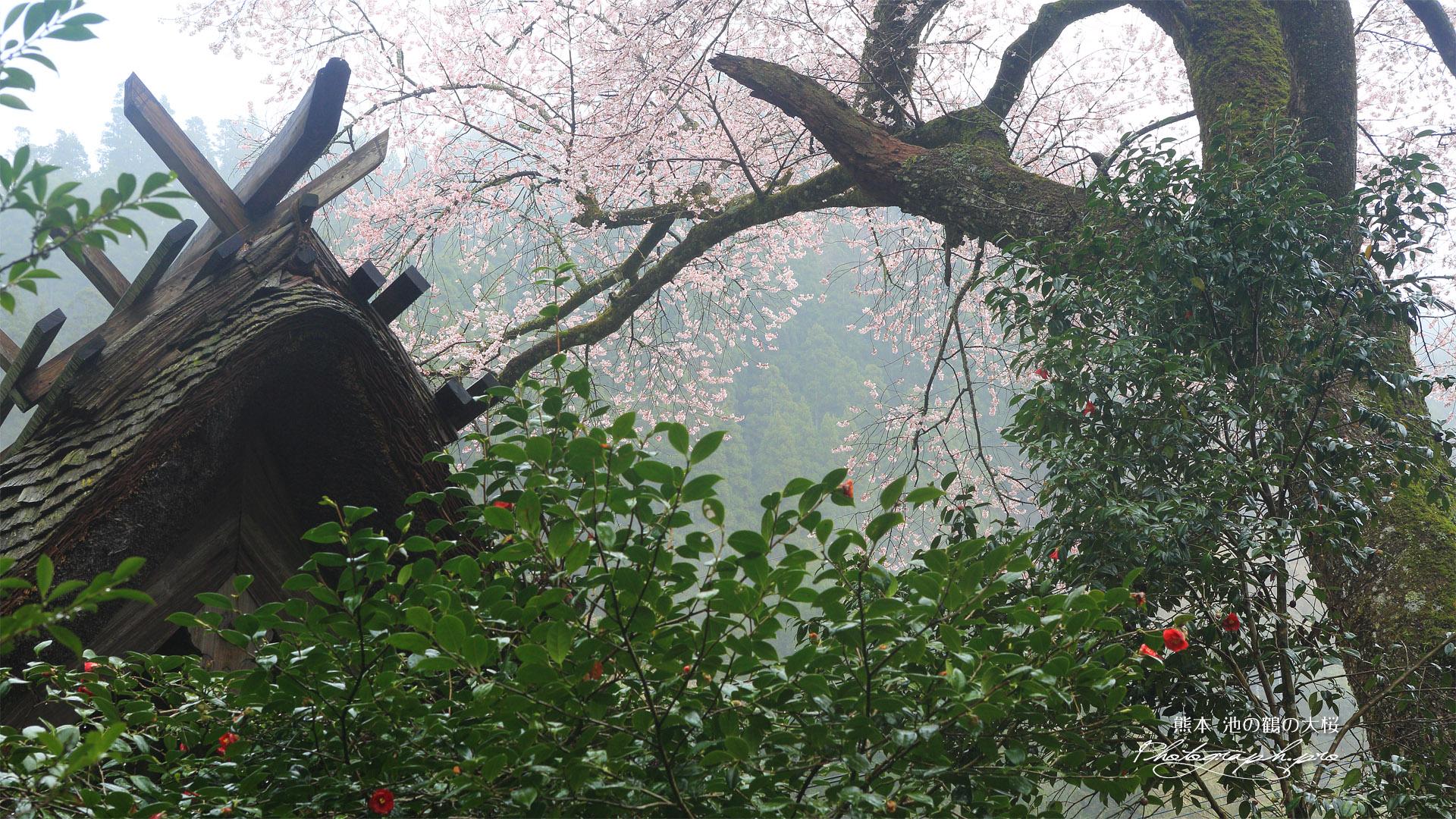 池の鶴の大桜