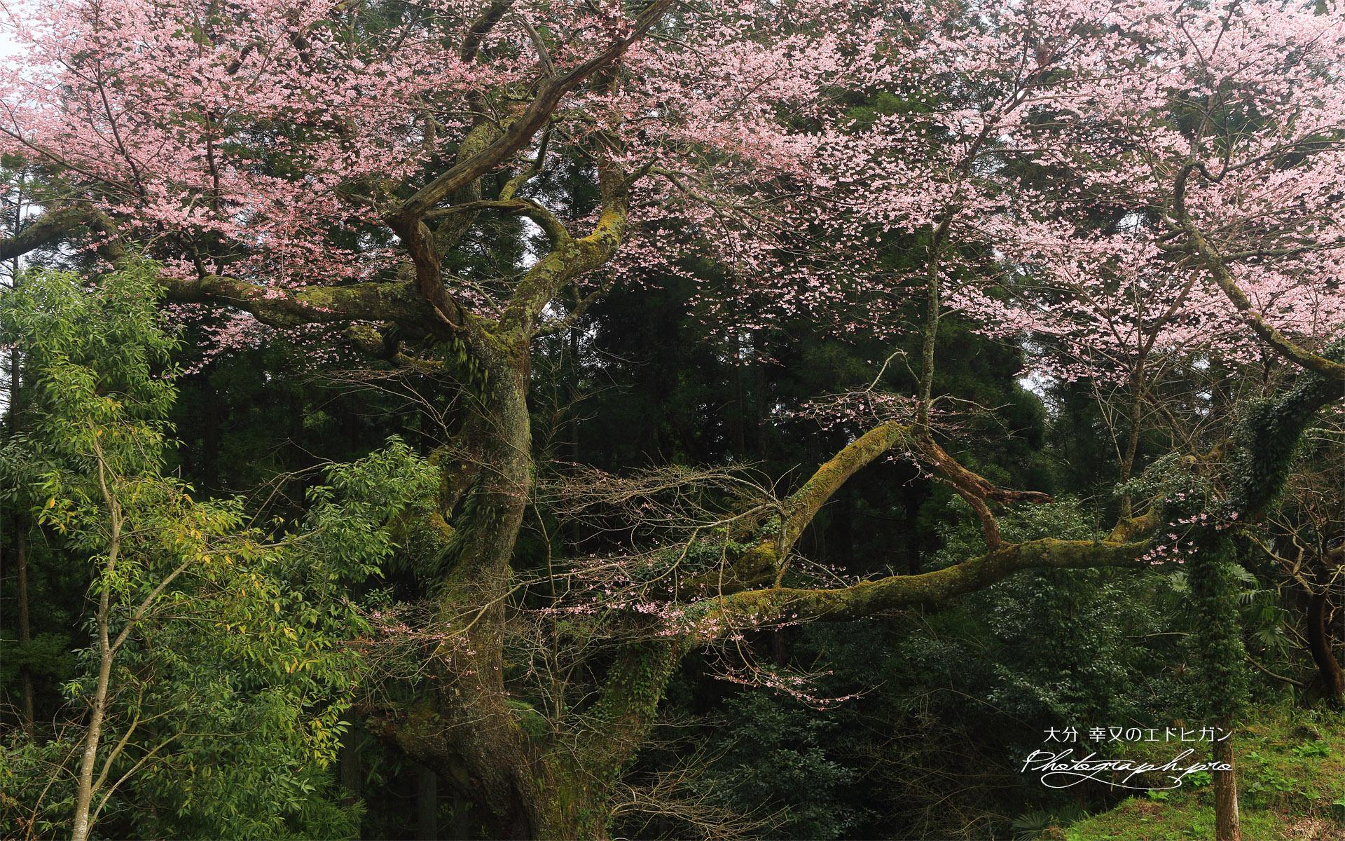 幸又の千年桜