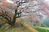 青青谷城尾大桜